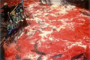 dolphins-beink-killed-in-japon