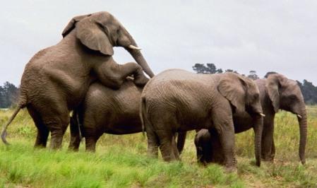elephant_sex